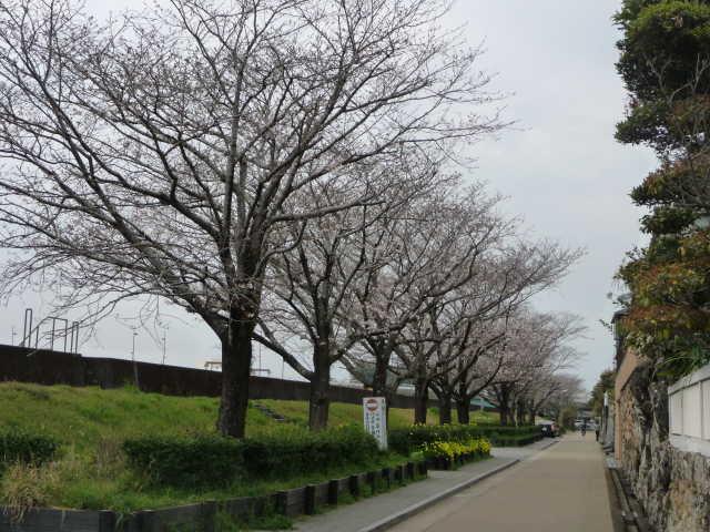 築屋敷の桜2